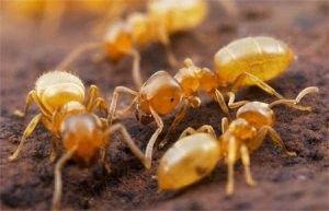 Как победить домашних насекомых — желтых муравьев?
