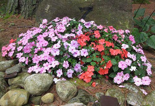 Как правильно посадить бальзамин в открытом грунте, и какой уход требуется цветку?
