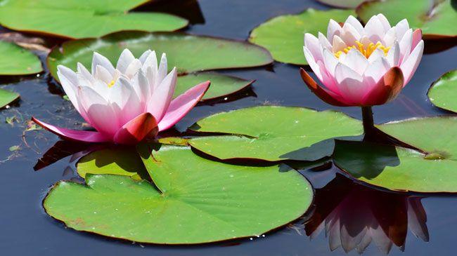 лилия-водная