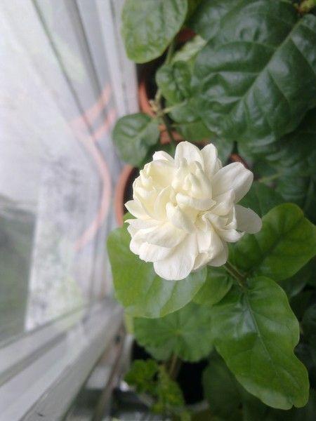 Как ухаживать за домашним растением жасмин