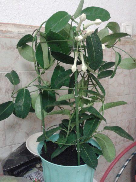 У кого есть стефанотис, он цветёт у вас в домашних условиях? Не прихотливое растение?