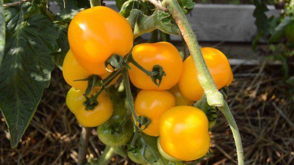 Сорт томата янтарный