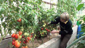 Правильный уход за помидорами зимой в теплице