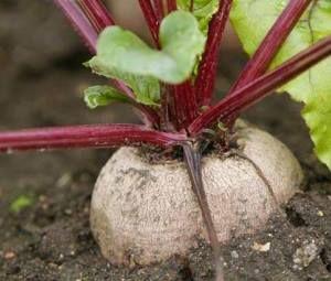Как выращивать свеклу — посадка, полив, внесение удобрений