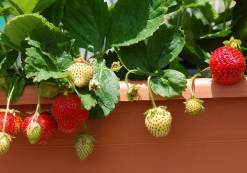 Как вырастить клубнику на балконе в домашних условиях