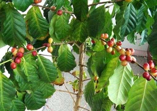 Как вырастить кофе из зерен дома