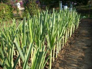 Как вырастить лук порей: подготовка рассады, высадка, уход