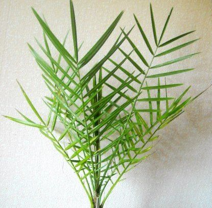 Как вырастить настоящую финиковую пальму в домашних условиях?