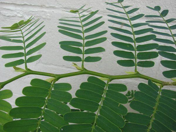 Укого есть растения с листьями похожие на акацию или мимозу