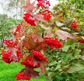 Калина — это дерево или кустарник