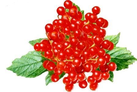 Калина красная: полезные свойства и противопоказания