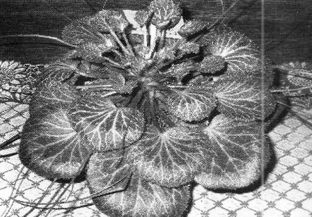 Каменный цветок, или камнеломка при гипертонии и других болезнях, рецепты приготовления лекарств