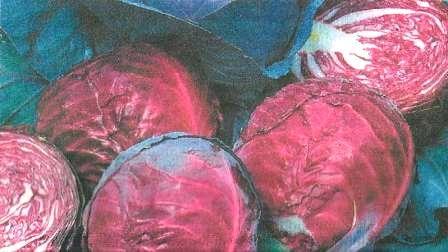 Капуста краснокочанная, её вкусовые, диетические свойства, сорта, агротехника