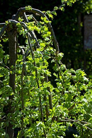 Карагана, русская акация, ботаническая характеристика, карагана в дизайне сада