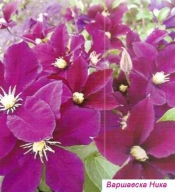 Клематисы, посадка и уход за цветами, саженцы клематисов