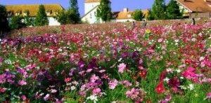 Космея: цветы на даче