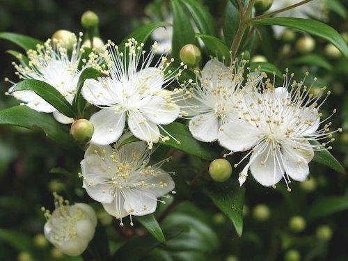 Красавец мирт: выращивание в домашних условиях