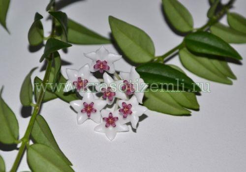 Красавица хойя: выращиваем в домашних условиях