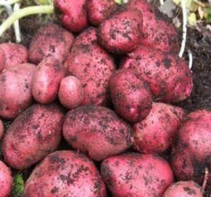 Крупноплодный картофель «родриго»: описание сорта, фото, характеристика