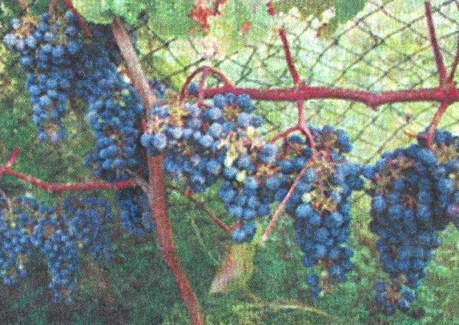 Культурный амурский виноград, его превосходные качества