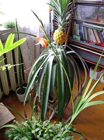 Выращивали ананас в домашних условиях ? Как он большой растет? Красивый?