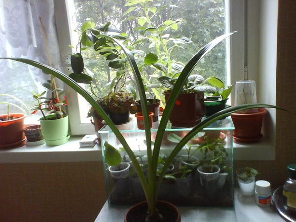 Хочу домашнюю герань посадить в саду