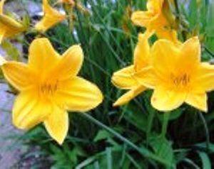 Лилейники в дизайне сада, сорта лилейников, размножение, селекция