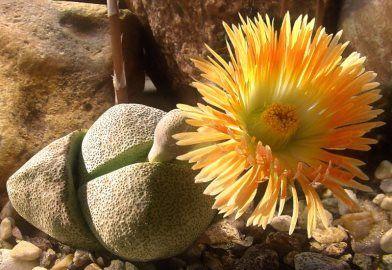 Литопсы: выращивание из семян и уход за растением в домашних условиях