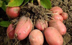 Любимый народный картофель «репанка»: описание сорта, фото, характеристика