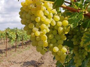 Лучшие виды удобрения для максимального плодоношения виноградных кустов