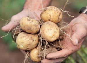 Лучший отечественный сорт картофеля голубизна: фото, описание, характеристика