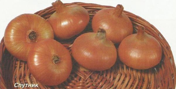 Лук-репка, особенности культуры, способы выращивания, сорта и агротехника