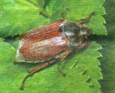Майский жук - вредитель сада и огорода, меры борьбы и профилактики