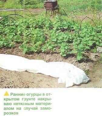 Методика выращивания огурцов в открытом грунте в средней полосе и в сибири, сорта огурцов для открытого грунта