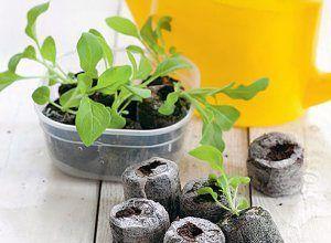 Методы выращивания рассады баклажан в улитке, торфяных таблетках и на туалетной бумаге: особенности посадки и правильный уход при каждом способе