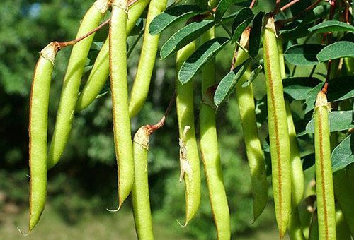 Методы выращивания желтой акации и уход за ней
