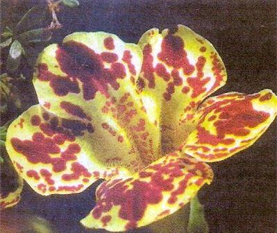 Мимулюс гибридный, или губастик в украшение сада, условия для произрастания, уход