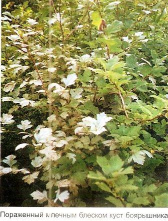 Млечный блеск - серьёзное инфекционное заболевание садовых культур, меры профилактики