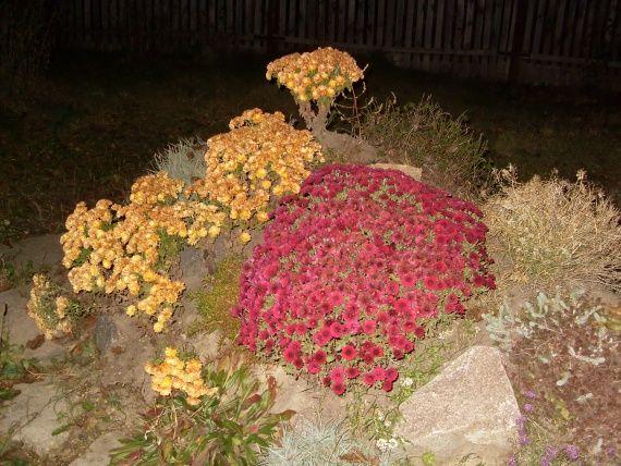 Мой уход и размножение хризантем