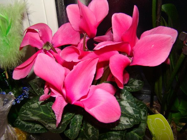 Можно ли дома держать цветок цикламен европейский (дрявка)