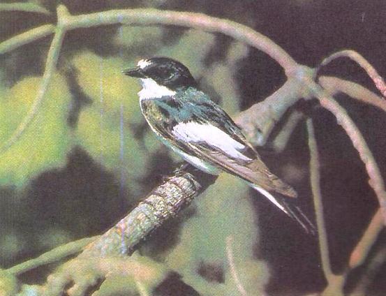 Мухоловка-пеструшка - насекомоядная птица, полезная для сада