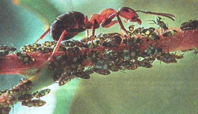 Муравьи в саду, полезные хищники, берегите муравьёв, борьба, защита, настойки, отвары, препараты, как избавиться