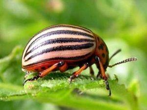 Налетели на картошку колорадские жуки. Методы борьбы с колорадским жуком