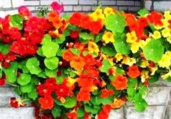 Настурция — выращивание на даче