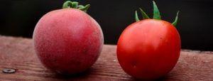 Необычный сорт томата «абрикос» f1: описание сорта, характеристики плодов, достоинства данного вида помидоров, борьба с вредителями