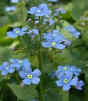 Незабудка: виды, посадка, уход, использование в ландшафте сада