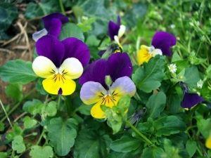 Нежный цветок фиалка: сорта, возможные болезни, уход и размножение