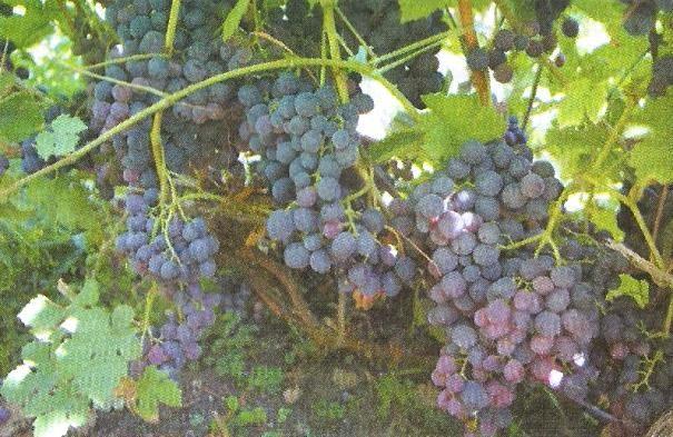 Нормирование нагрузки виноградных кустов в зависимости от сорта