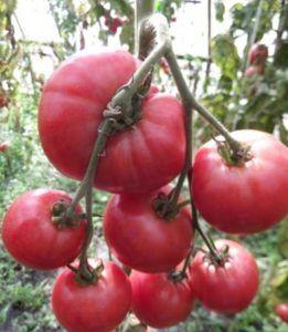 Новинка, которая заслуживает внимания — томат «малиновая рапсодия»: описание сорта