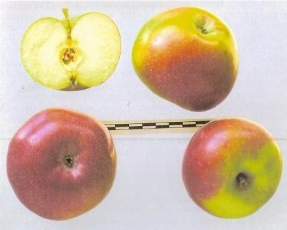 Новые колонновидные яблони академика седова, описание сортов